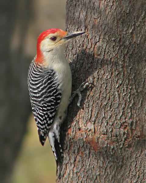 red_bellied_woodpecker_2331.jpg
