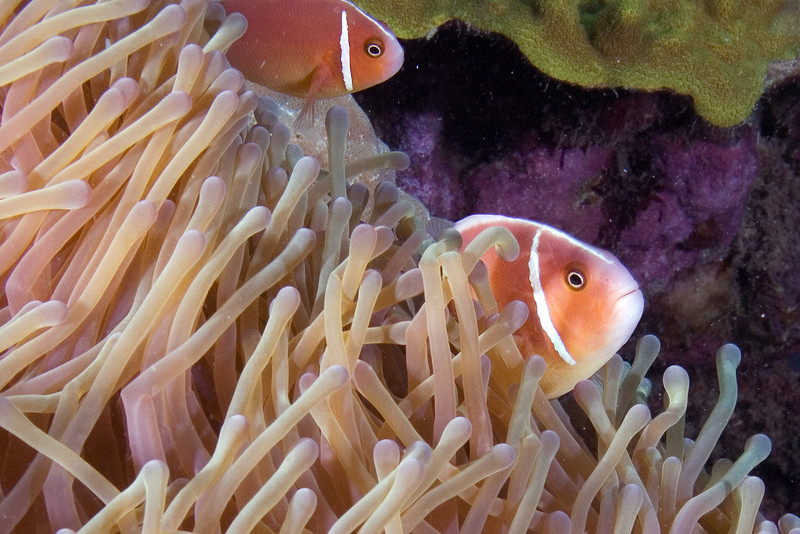 Pink Anenome Fish.jpg