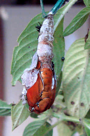 Life Cycle of a Gulf Fritillary
