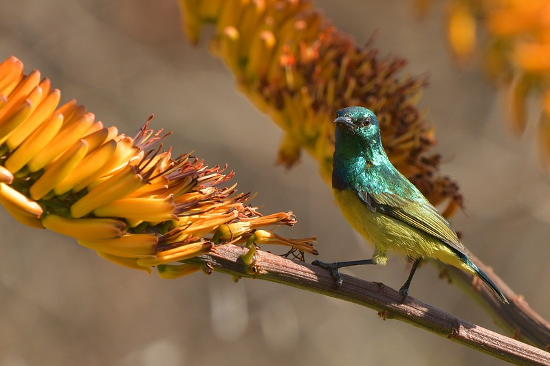 Colored Sunbird