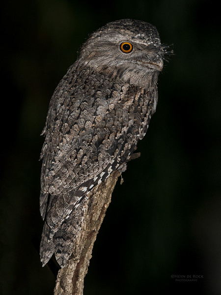Tawny Frogmouth, Tallai, QLD, March 2017.jpg