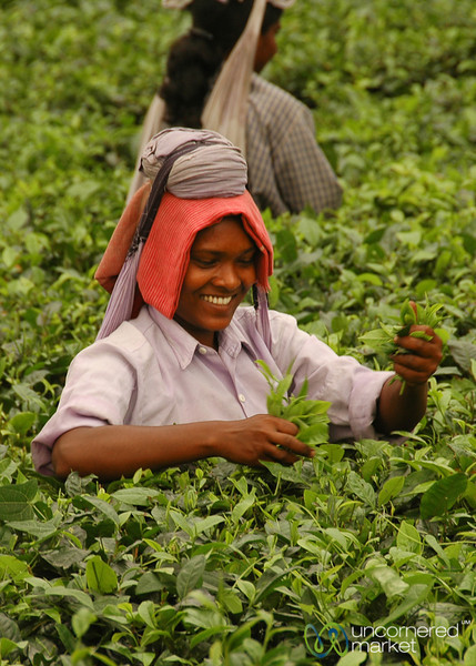 Picking Tea Leaves - West Bengal, India