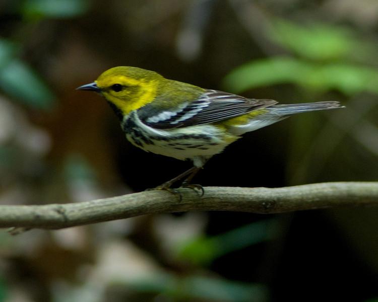 Black-throated Green Warbler  Monticello Park, Alexandria VA