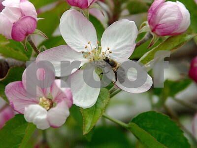 Wenatchee Orchard photos