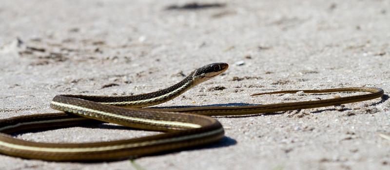 eastern garder snake
