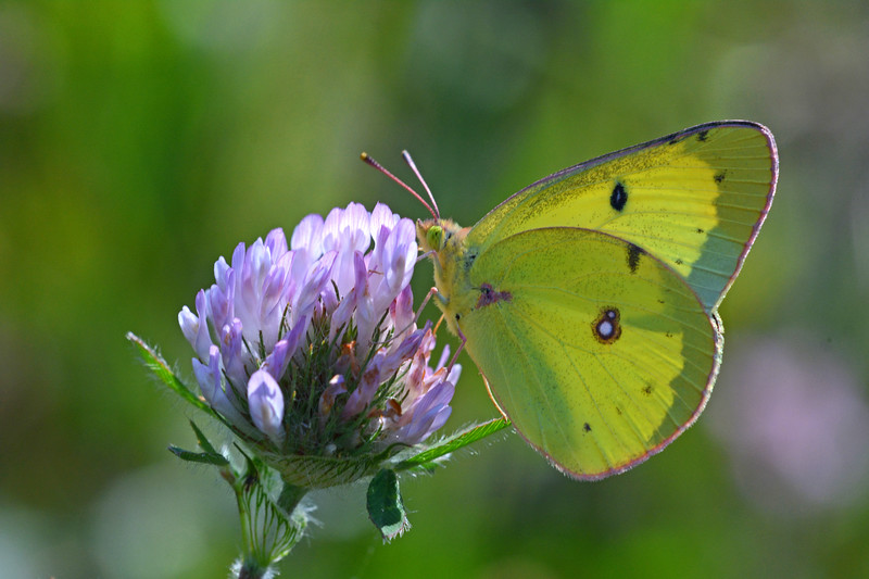 Clouded Sulphur on Red Clover