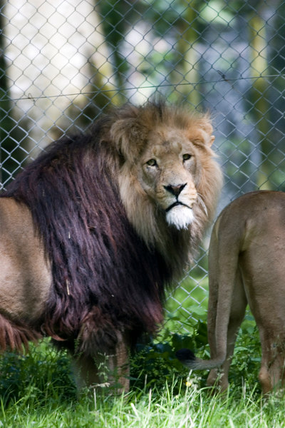 lion with mane