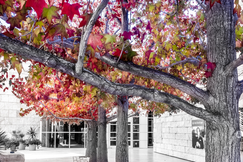 November 14 - The masgical colors of autumn at the Getty, Los Angeles.jpg