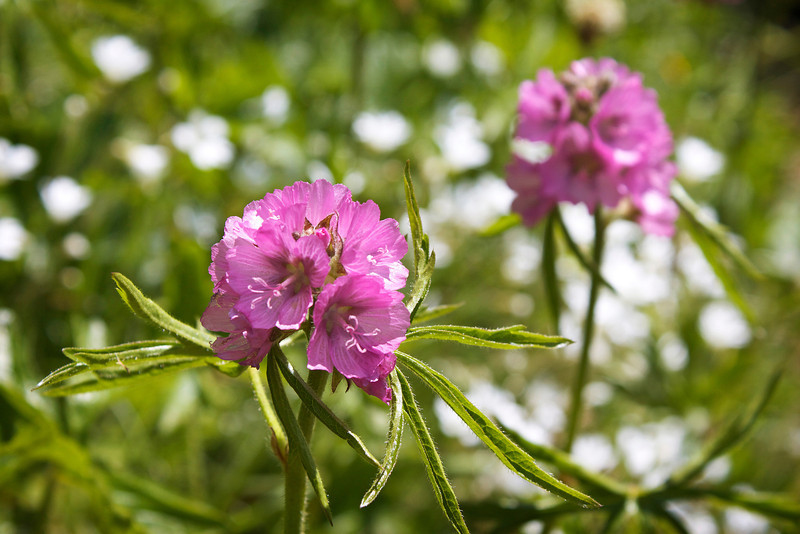 Bristly-stemmed checkerbloom, Sidalcea hirtipes