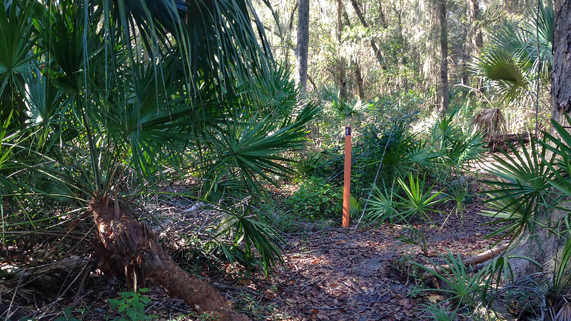 large saw palmetto