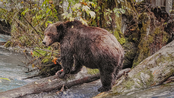 Grizzly Bear Adventure