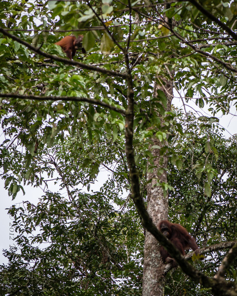 All of the following were taken with a 105 lens (as it was the only thing I had at the time.... not the best pics... SO-O-O-O great to see the orang-utan in the wild foraging as they should