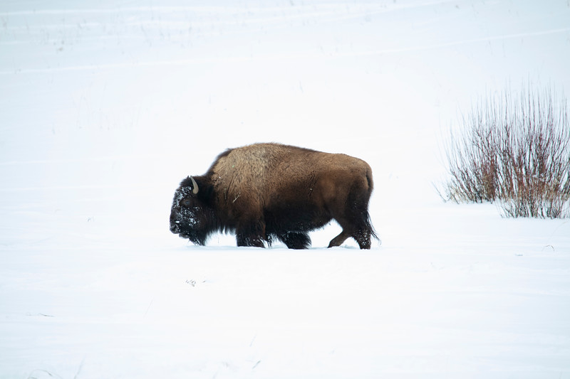 387A9208 Bison walking.jpg