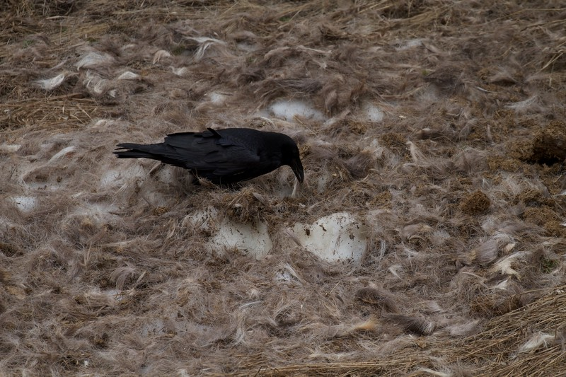 Common Raven at carcass Yellowstone National Park WY IMG_5764.jpg