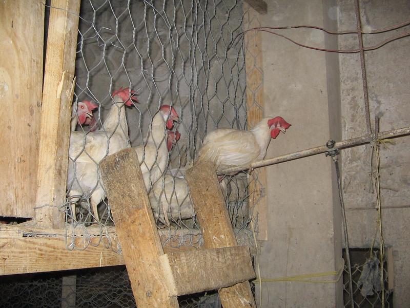 chicken-coop-in-town_1807945099_o.jpg