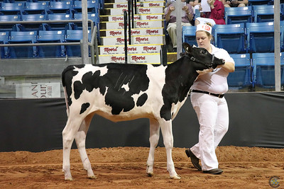 Atlantic Summer Show - Heifers
