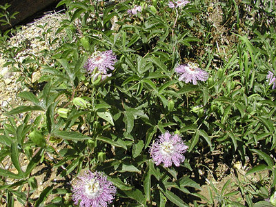 Growth habit of Passion Flower