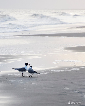 """Sweet Love"" - Laughing Gulls-Yaupon Beach, Oak Island, NC - Catalog #2025"