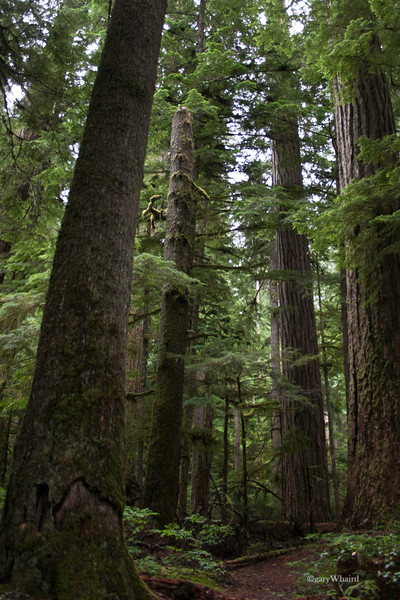 Mt. Rainier Old Growth Forest
