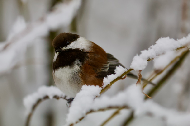 Chestnut-back Chickadee