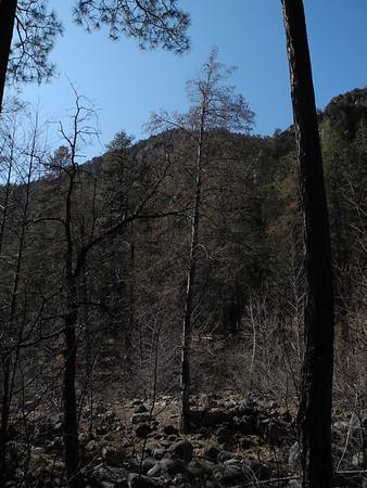 Alnus oblongfolia