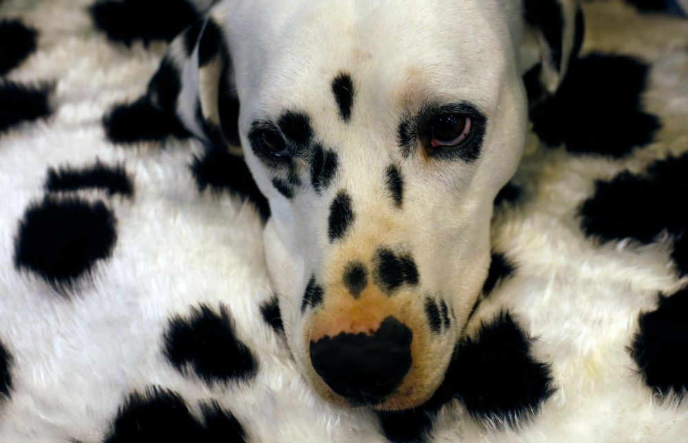 Description of . A Dalmatian rests during the second day of the Crufts Dog Show in Birmingham, central England March 8, 2013.  REUTERS/Darren Staples
