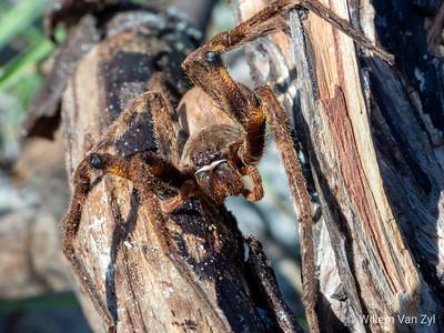 Rain Spider (Palystes sp.)