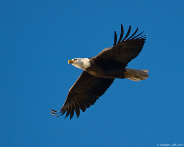 Eagles of Lake Sammamish (2008/2009)