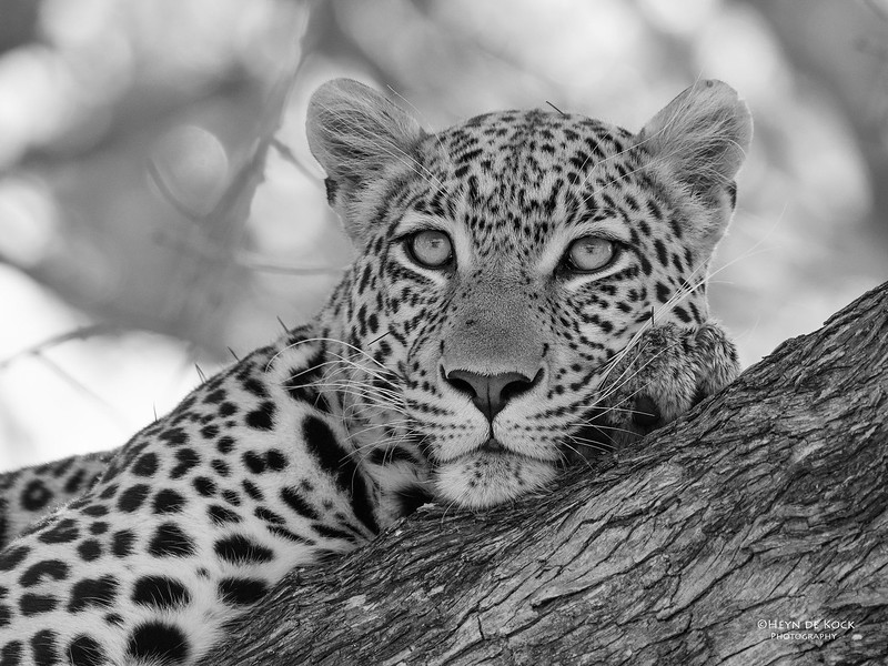 Leopard, b&w, Khwai River Concession, Botswana, May 2017-7.jpg
