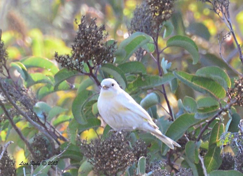 Leucistic Yellow-rumped Warbler - 12/30/13 - Bandy Canyon Road