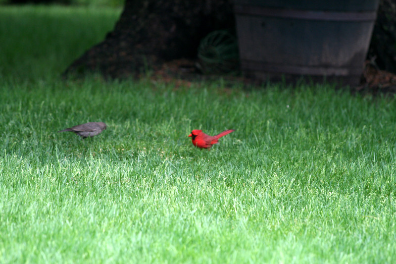 Brown-headed Cowbird [left] and Northern Cardinal [right]