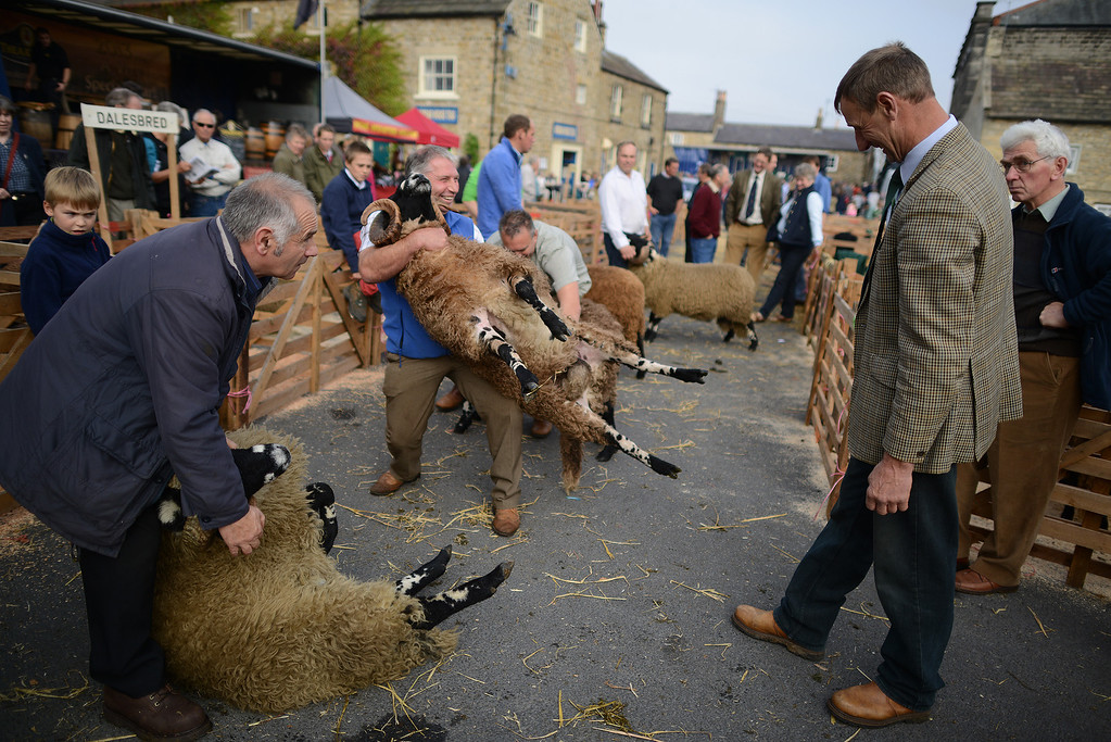 . MASHAM, UNITED KINGDOM - SEPTEMBER 28 Dalesbred sheep are judged during the sheep fair in Masham September 28, 2013 in Masham. The fair, celebrating its 25th year, consists of many events over the weekend, including many sheep catagories such as sheep racing, sheepdog demonstrations and fleece stalls. (Photo by Nigel Roddis/Getty Images)