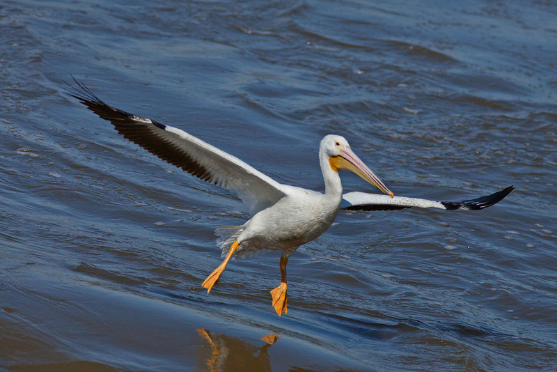 White pelican about to land