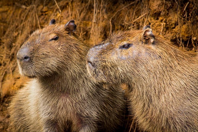 Capybara of the Pantanal, Brazil-27.jpg