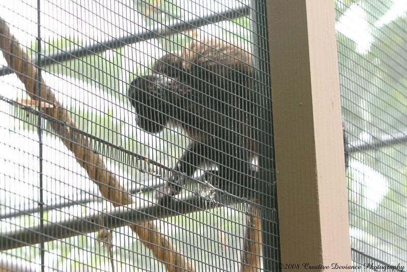 crested capuchin6.jpg