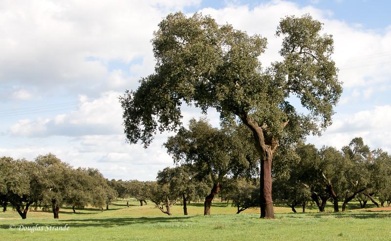 Wed 3/16 en route to Lisbon: A field of cork oaks