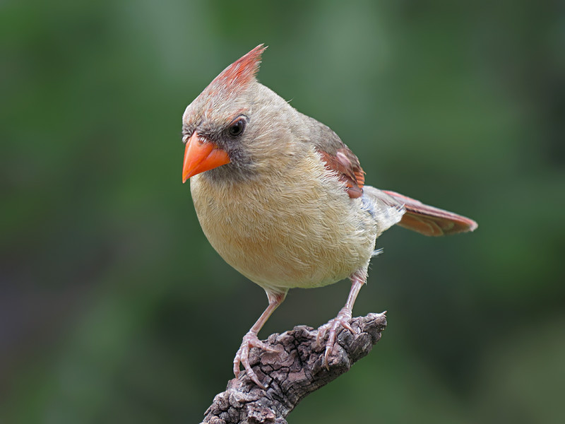 sx50_cardinal_boas_407.jpg