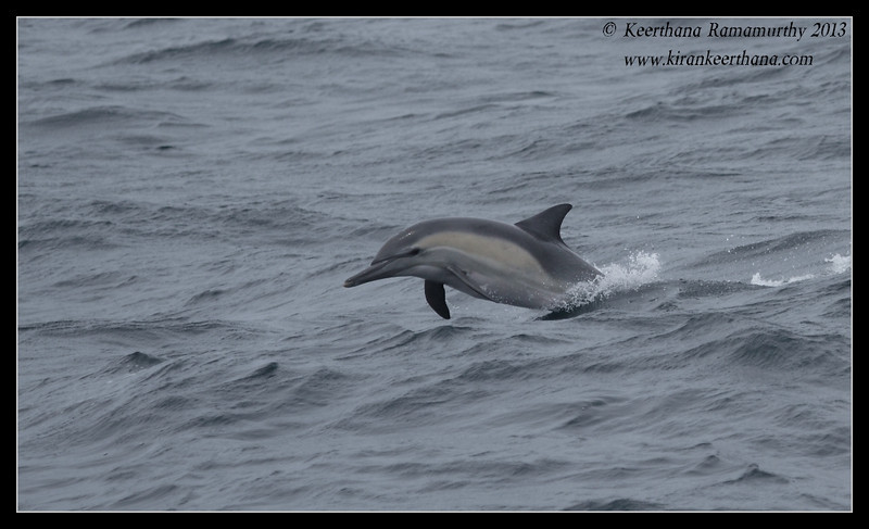 Common Dolphin riding the bow of the boat, Whale Watching trip, San Diego County, California, June 2013