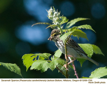SavannahSparrow1700.jpg
