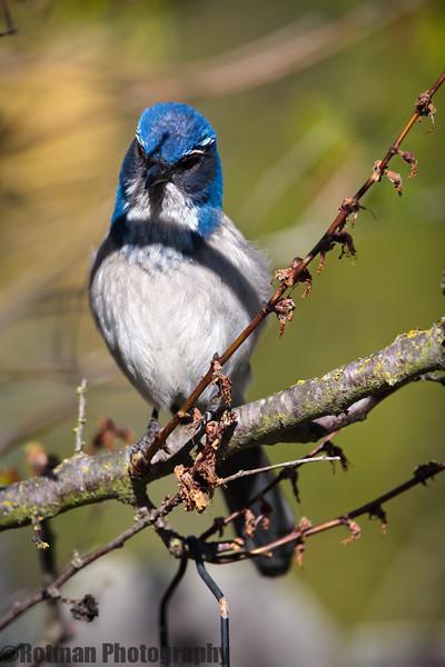 Blue Jay-7637.jpg
