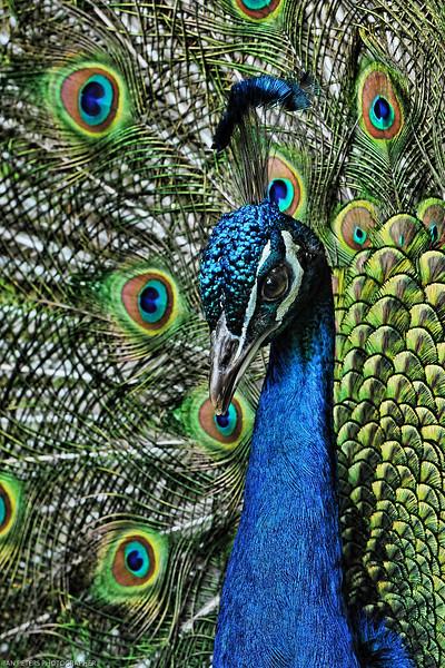 Prinknash Peacock Topaz A5 V Sp 4 x 6 300 dpi 3179.jpg
