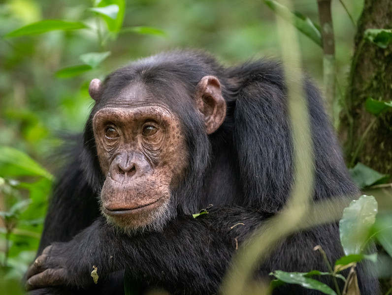 Uganda_T_Chimps-614.jpg
