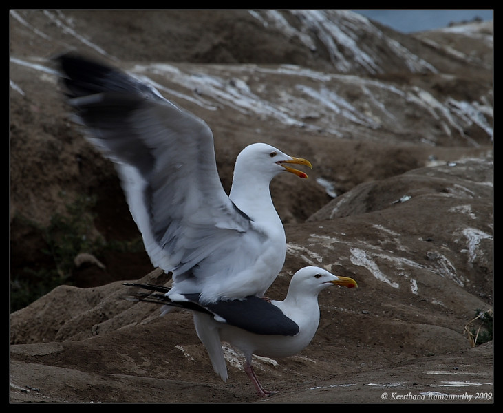 Western Gulls mating, La Jolla Cove, San Diego County, California, May 2009