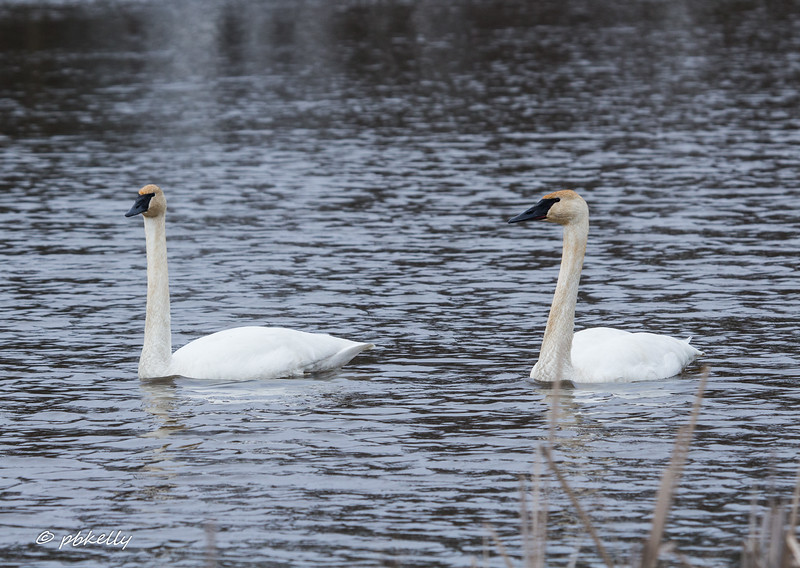 This pair of Trumpeter Swans showed up mid February and hung around for several weeks.  We thought maybe they would nest, but they didn't.  First time for swans.