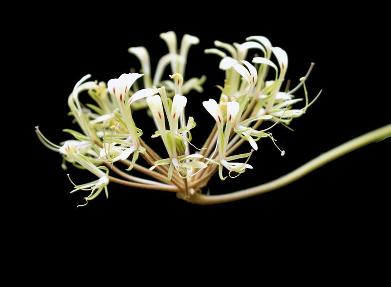 Pelargonium punctatum Donn Reimers