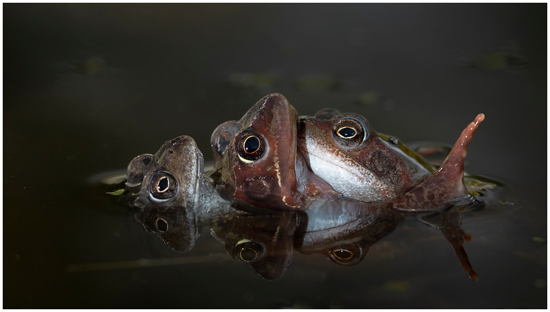Common frogs mating (2 male and a female)