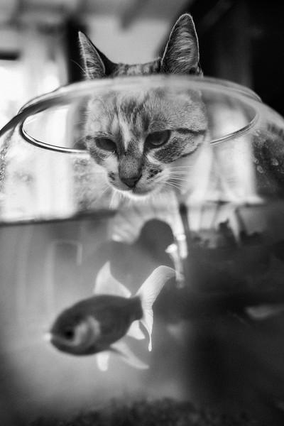 CAT_LURKING_GOLDFISH.jpg