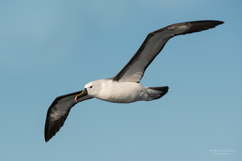 Indian Yellow-nosed Albatross, Wollongong Pelagic, NSW, Jul 2014-8.jpg