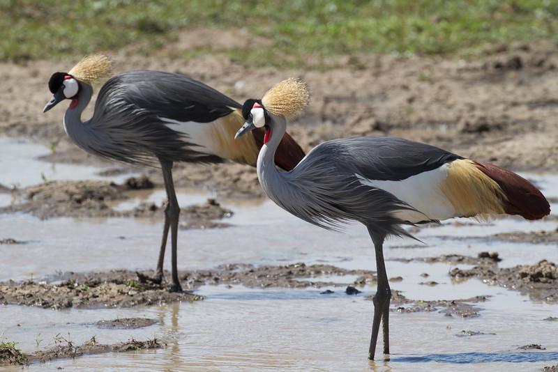 Crown-crested Heron