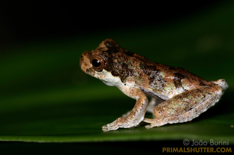 Dendropsophus treefrog in Intervales State Park, Brazil. South-east atlantic forest reserve, UNESCO World Heritage Site.